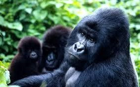 There are only around 900 mountain gorillas left in the wild in Africa