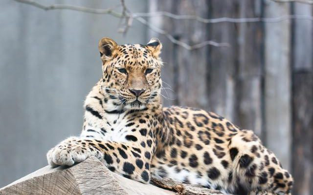 Amur leopards are one of the most threatened species in the world